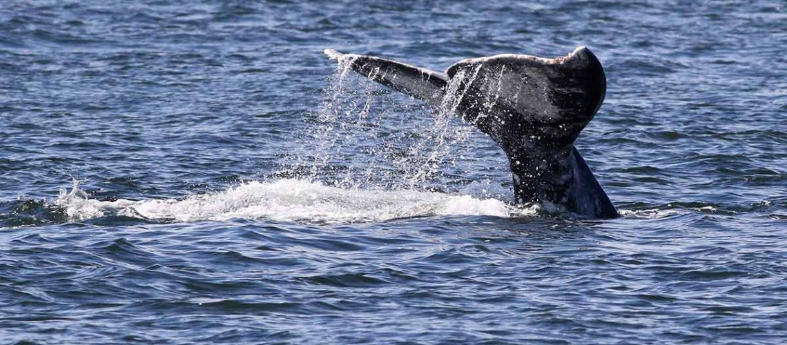 gray-whale-tail